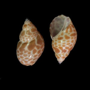 Hermit Crab Shells and land Hermit Crab Shells