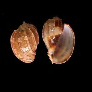 wholesale Natural Hermit Crab Shells